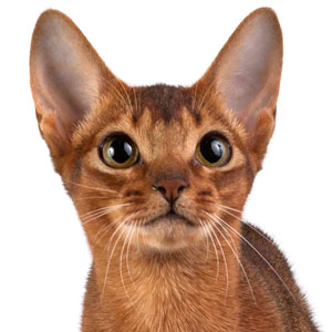 Abyssinian cat Amberberry Beatrix Kido. Amberberry abyssinian cattery
