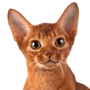 Abyssinian cat Amberberry Brunhild. Amberberry abyssinian cattery.