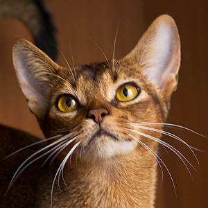 Abyssinian cat. Amberberry abyssinian cattery.